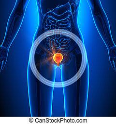 Bladder - Female Organs - Human Anatomy