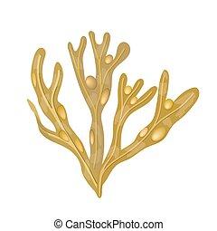 Bladderwrack Seaweed - Fucus vesiculosus. sea plant. isolated