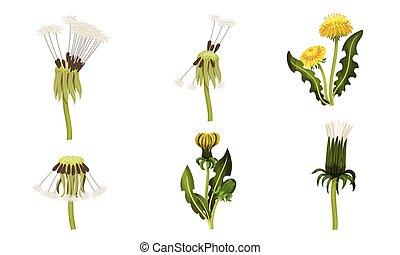 blade, blomst, lobed, florets, hoveder, sæt, vektor, eller, ...