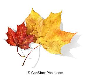 bladen, gul, lönn, röd