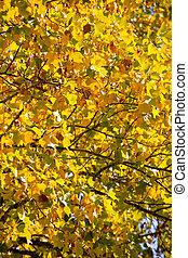 bladen, träd, lönn, falla