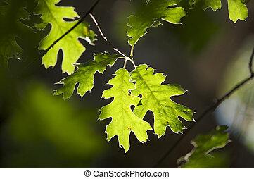 bladeren, eik, backlit
