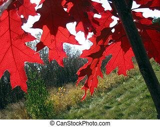 bladeren, eik, rood