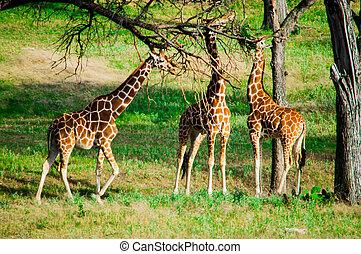 bladeren, eten, drie, giraffes