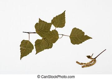 bladeren, herbarium, berk, witte