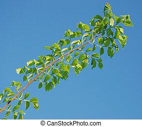 bladeren, tak, groene