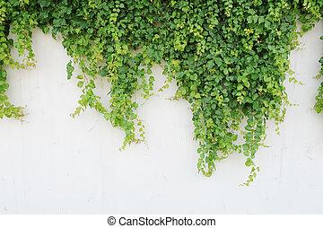 bladeren, vrijstaand, achtergrond, witte , klimop