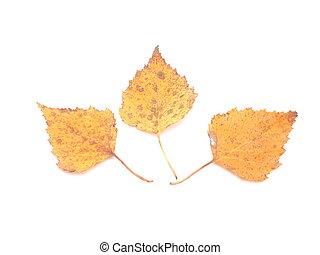 bladeren, witte achtergrond, gele, berk