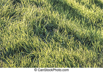 Blades Of Grass Imbued With The Sunlight