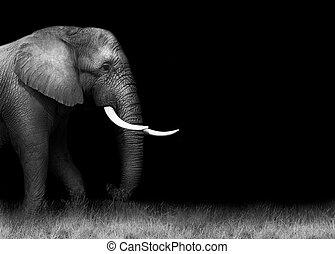 blanc, éléphant, noir, africaine
