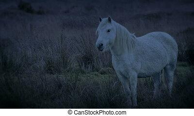 blanc, accidenté, paysage, soir, cheval