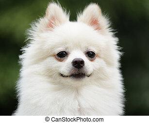 blanc, adorable, pomeranian