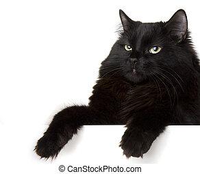blanc, arrière-plan noir, chat