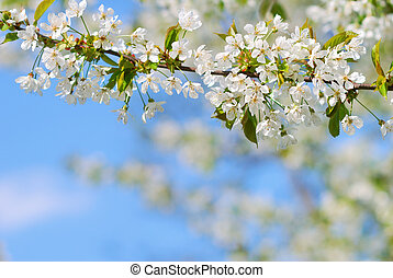 blanc, branche arbre, printemps, fleurir