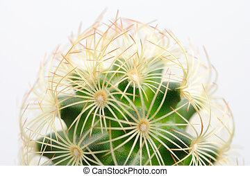 blanc, cactus, isolé, fond