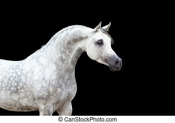 blanc, cheval noir, isolé
