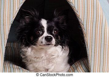 blanc, chihuahua, noir, accessoires, chien