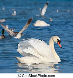 blanc, cygnes, flotter, sur, les, eau