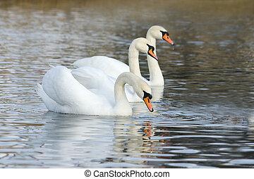 blanc, cygnes, flotter, sur, les, surface eau