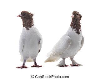 blanc, deux, colombes, isolé