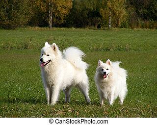 blanc, deux, pelucheux, chiens
