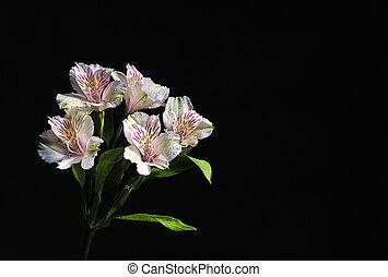 blanc, fleur, noir, fond