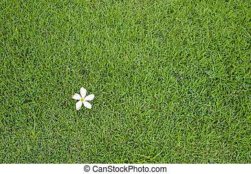 blanc, fleur, vert, herbe