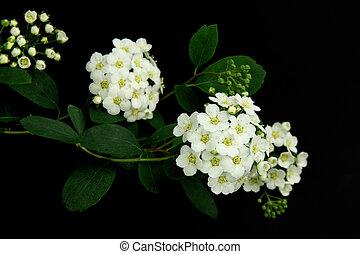 blanc, fleurs, noir, fond
