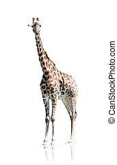 blanc, girafe, isolé, fond