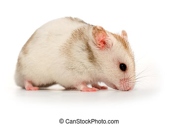 blanc, hamster