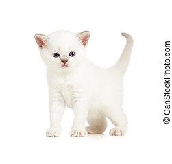 blanc, isolé, britannique, chaton