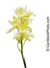 blanc, isolé, orchidée