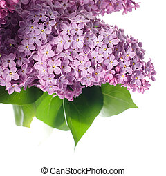blanc, lilas, branche, isolé