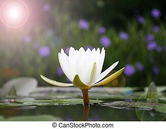 blanc, lotus fleur, fleur