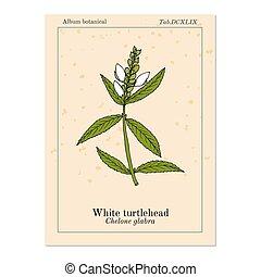 blanc, médicinal, mauvaise herbe, aromate, amer, ou, chelone...