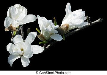 blanc, magnolia