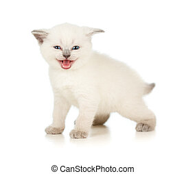 blanc, meowing, isolé, chaton