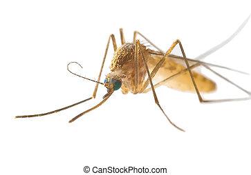 blanc, moustique, fond, isolé