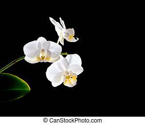 Orchidée noir