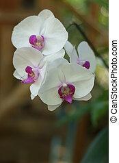 blanc, orchidée