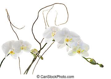 blanc, orchidées