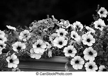 blanc, pétunia, noir, fleurs