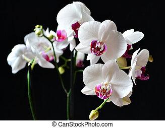 blanc, phalaenopsis, noir, orchidées