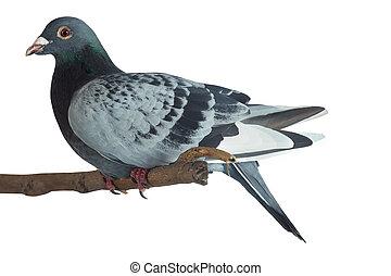 blanc, pigeon, isolé, fond