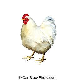 blanc, poulet, poule, isolé
