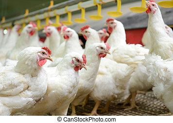 blanc, poulets, ferme