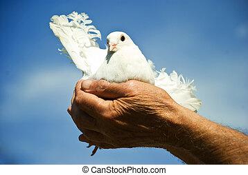 blanc, prise, colombe, personnes agées, mains