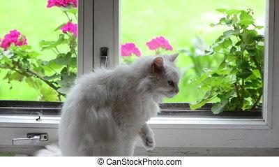 blanc, rebord, fenêtre, chat