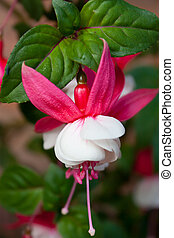 blanc rouge, fuschia