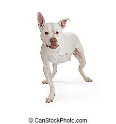 blanc, trois, jambes, chien